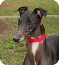 Greyhound Dog for adoption in Ware, Massachusetts - Trent