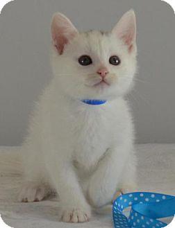 Domestic Shorthair Kitten for adoption in Flower Mound, Texas - Howard
