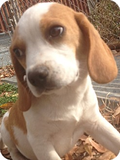Beagle Puppy for adoption in East Hartford, Connecticut - Danny Boy