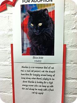 Domestic Longhair Cat for adoption in Whitestone, New York - Blacky