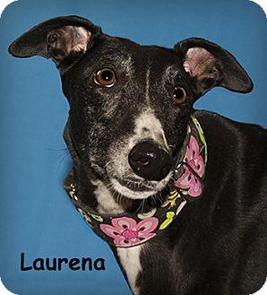 Greyhound Dog for adoption in Seattle, Washington - Laurena
