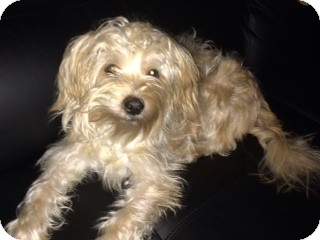 Lhasa Apso/Terrier (Unknown Type, Small) Mix Puppy for adoption in Worcester, Massachusetts - George
