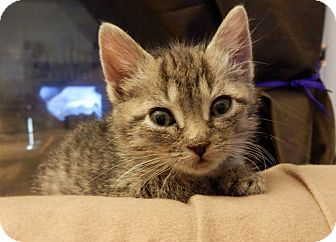 Domestic Shorthair Kitten for adoption in Webster, Massachusetts - Amelia