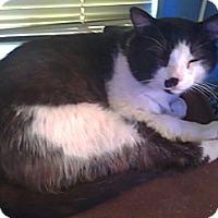 Adopt A Pet :: Kara's kitty - Chandler, AZ
