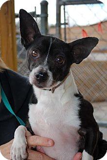 Chihuahua/Dachshund Mix Dog for adoption in Columbia, Tennessee - Sambuca