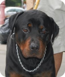 Rottweiler Mix Dog for adoption in Brooklyn, New York - Ranger