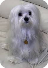 Maltese Dog for adoption in Weatherford, Texas - *DAISY*