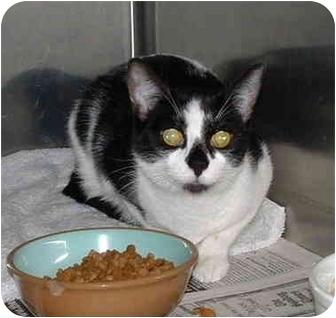 Domestic Shorthair Cat for adoption in Honesdale, Pennsylvania - LuLu