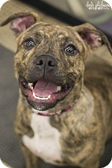 Terrier (Unknown Type, Medium)/American Bulldog Mix Puppy for adoption in Charlotte, North Carolina - Holly