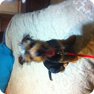 Yorkie, Yorkshire Terrier Mix Puppy for adoption in springtown, Texas - Tazz