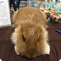Adopt A Pet :: Cinnabun - Williston, FL