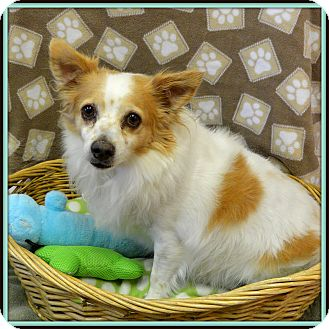 Papillon/Chihuahua Mix Dog for adoption in Glendale, Arizona - Pancho