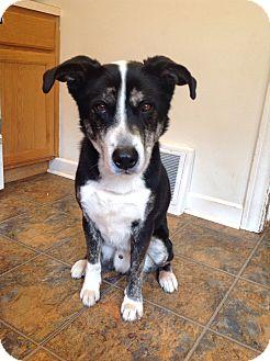 Border Collie Mix Dog for adoption in Montague, Michigan - Gilligan-New update 6/27