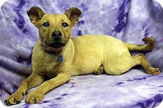 Labrador Retriever Mix Puppy for adoption in Westminster, Colorado - Nadia