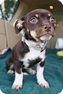 Pug/Chihuahua Mix Puppy for adoption in Westminster, Colorado - Arrabella