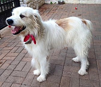 Great Pyrenees/Collie Mix Dog for adoption in Allentown, Pennsylvania - Montrose