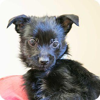 Chihuahua/Pomeranian Mix Puppy for adoption in Staunton, Virginia - Simon