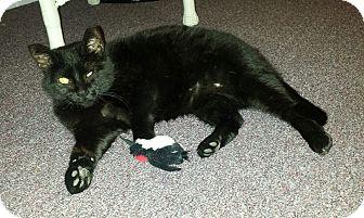 Domestic Shorthair Cat for adoption in Colmar, Pennsylvania - Raven