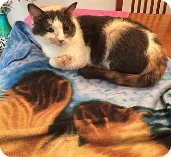 Calico Cat for adoption in Orland Park, Illinois - Aqua