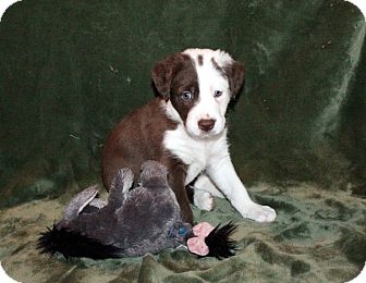 Border Collie Mix Puppy for adoption in West Milford, New Jersey - CHAEL-pending