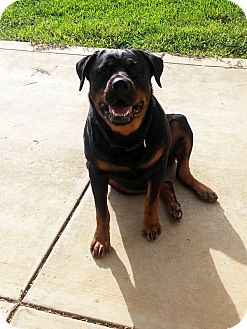 Rottweiler Dog for adoption in Baxter, Tennessee - Sheeba
