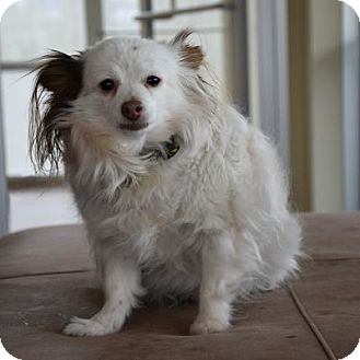Papillon Mix Dog for adoption in Denver, Colorado - Champers