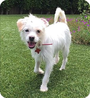 Terrier (Unknown Type, Small) Mix Dog for adoption in Encino, California - Anna