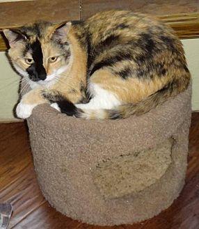 Calico Cat for adoption in Lawton, Oklahoma - AUTUMN
