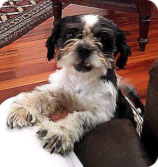 Shih Tzu Mix Puppy for adoption in Tijeras, New Mexico - Cody