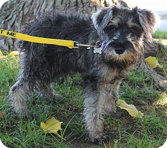 Standard Schnauzer Mix Dog for adoption in Chico, California - MOE