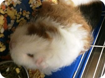 Guinea Pig for adoption in Lake Elsinore, California - Muffy