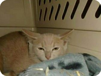 Domestic Shorthair Kitten for adoption in THORNHILL, Ontario - Delancy