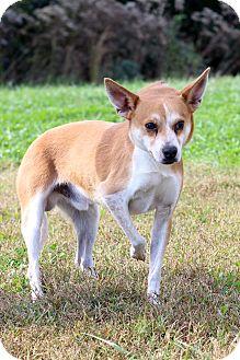 Shiba Inu Mix Dog for adoption in Waldorf, Maryland - Landry ADOPTION PENDING