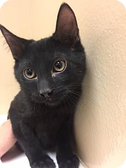 Domestic Shorthair Kitten for adoption in Cumming, Georgia - Brady