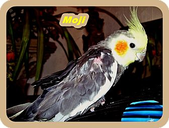 Cockatiel for adoption in Tampa, Florida - Moji