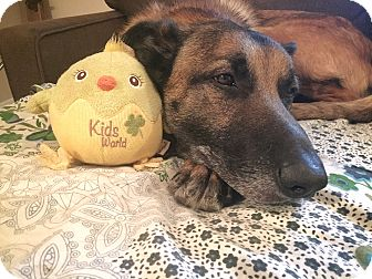 Belgian Malinois Mix Dog for adoption in Staunton, Virginia - Bear