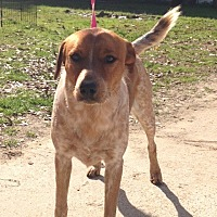 Australian Cattle Dog/Pointer Mix Dog for adoption in Baton Rouge, Louisiana - Busta