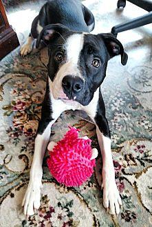 Hound (Unknown Type)/Pit Bull Terrier Mix Dog for adoption in Sharon Center, Ohio - Hayden