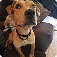 Adopt A Pet :: Eddie: loves walks! (PA) - Madison, WI