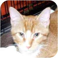American Shorthair Kitten for adoption in Coleraine, Minnesota - Kit
