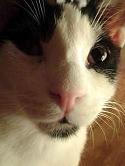 Domestic Shorthair Kitten for adoption in Philadelphia, Pennsylvania - Morgan fka Saul