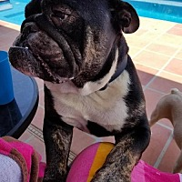 Adopt A Pet :: Brady - Tempe, AZ