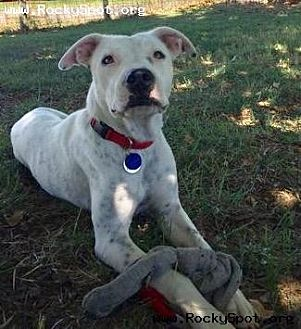 Dalmatian/American Staffordshire Terrier Mix Dog for adoption in Newcastle, Oklahoma - Amelia