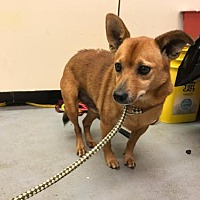 Adopt A Pet :: Brownie - Beckley, WV