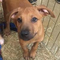 Adopt A Pet :: Dakota - Gainesville, FL