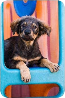 German Shepherd Dog Mix Puppy for adoption in Portland, Oregon - Bono