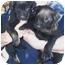 Photo 2 - Labrador Retriever Puppy for adoption in Lexington, Missouri - Sissy