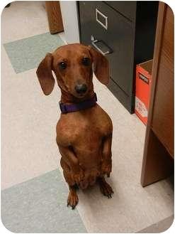 Dachshund Dog for adoption in Astoria, New York - Scarlet