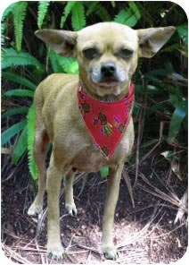 Chihuahua Mix Dog for adoption in El Cajon, California - CHICA
