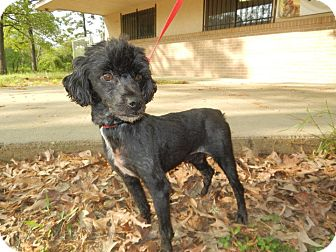 Poodle (Miniature) Dog for adoption in W. Warwick, Rhode Island - R.I. PETEY